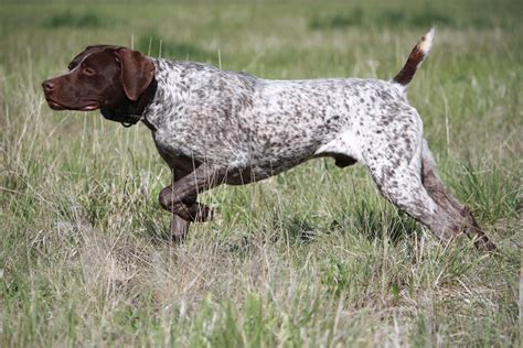 Stop German Shorthaired Pointer Shedding by Pointer History Personality Appearance Health And Pictures