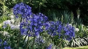 Entretien Des Agapanthes : 350 nuances de bleu les sublimes agapanthes de la villa della pergola ~ Melissatoandfro.com Idées de Décoration
