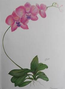 Orchid - Color Pencil Drawing Study by shikifourseasons ...