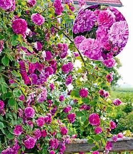 rambler rose himmelsauge 1a qualitat kaufen baldur garten With französischer balkon mit www baldur garten de rosen