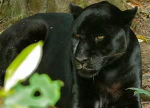Costa Rica Wild Cats, Jaguar Ocelot Jaguarundi Margay Cat