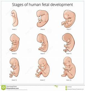 Stages Of Human Fetal Development Schematic Vector Stock
