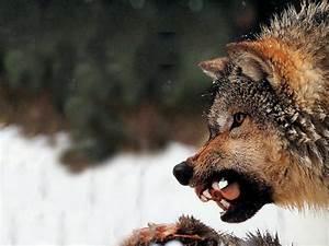 Snarling Wolf - Pixdaus
