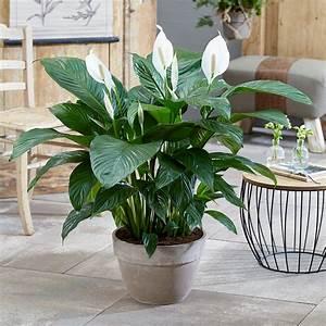 Spathiphyllum, U0026, 39, Peace, Lily, U0026, 39, House, Plant