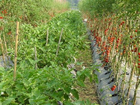 eggplant brinjal world crops