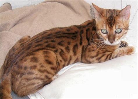 top  cat breeds  america pets world
