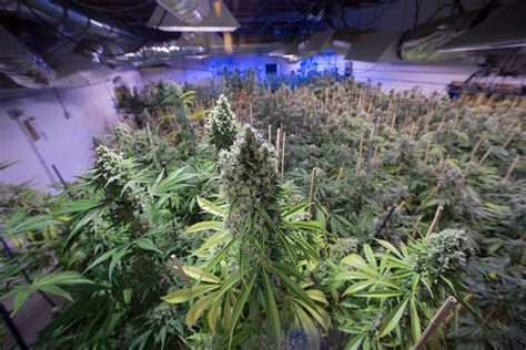 bester cannabis dünger marijuana compounds made in gm yeast could help epilepsy new scientist