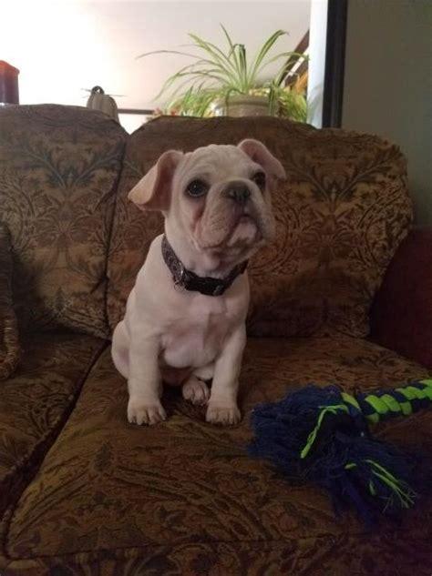 french bulldog puppy dog  sale  douglas wyoming