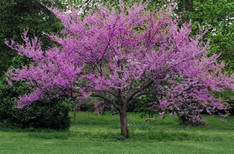 The tree produces a round, dark purple fruit that matures in late summer. Great Spring Flowering Trees - Merrifield Garden Center