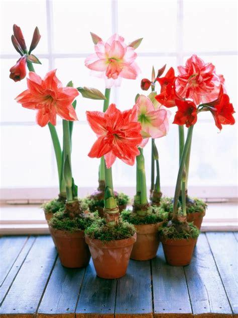 arrosage amaryllis en pot growing bulbs indoors hgtv