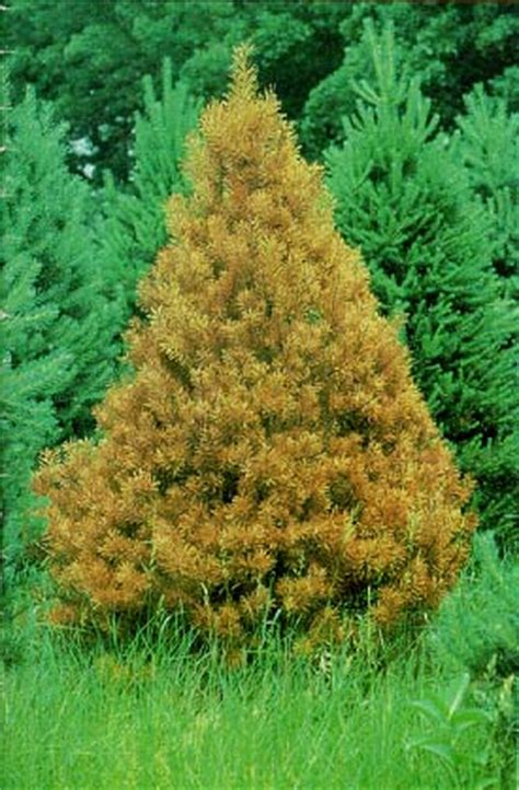pocket guide to christmas tree diseases