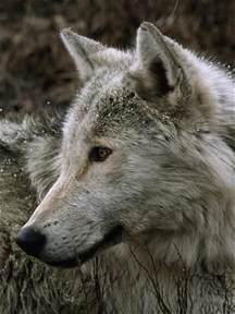 Male Gray Wolf