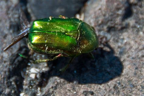 How To Get Rid Of June Bugs On My Porch by June Beetle How To Get Rid Of June Bugs