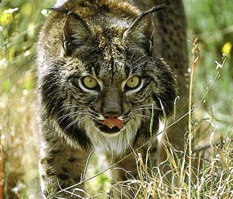 imagenes de animales en  de extincion  especies extintas informacion imagenes