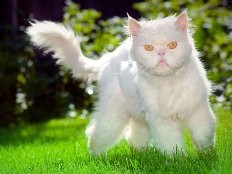 Funny Uglyfaced White Cat Wallpaper Photo #290 Wallpaper