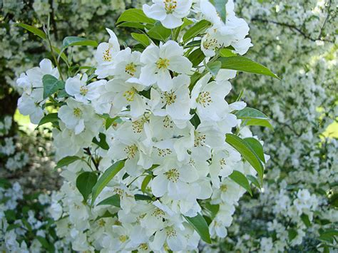 tree with white flower flowering trees follow up photothemes blog