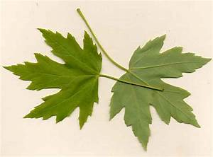 Sugar Maple Tree Leaf Identification | www.imgkid.com ...