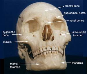 Skull Anatomy Page 4
