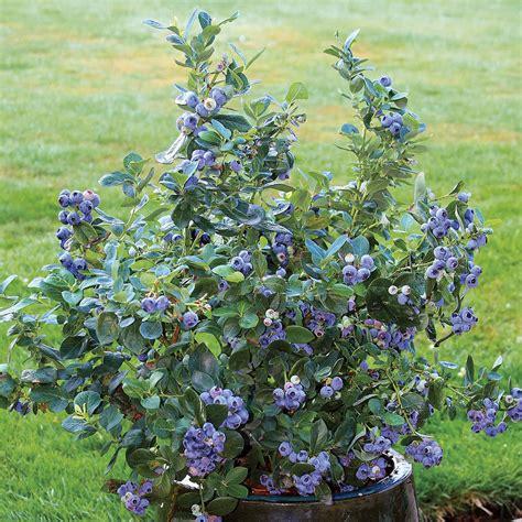 Heidelbeere Im Garten Pflanzen by Topf Heidelbeere Northcountry Kaufen Bei G 228 Rtner