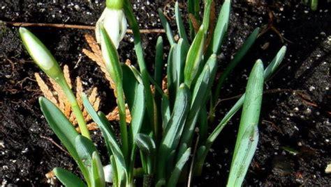 Foto: Zied pirmie sniegpulkstenīši - DELFI