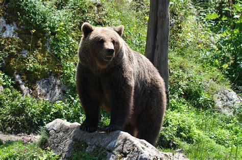 Медведи — википедия