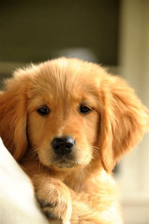 reasons      golden retrievers