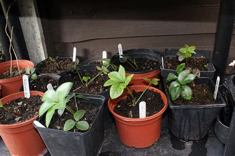 transplanting hellebore seedlings graphicality uk my hellebores