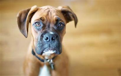Boxer Dog Dogs Confused Wallpapers Wallpapertag