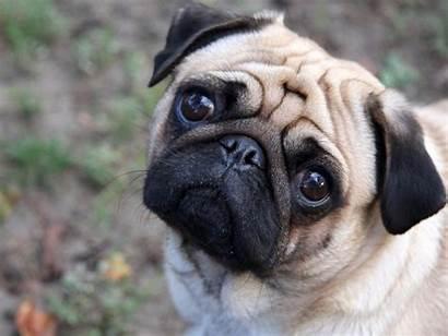 Dog Dogs Pug Doggie Wallpapers Desktop Cats