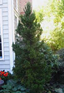 cryptomeria 39 black 39 garden housecalls