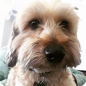 Los Angeles, CA - Havanese/Yorkie, Yorkshire Terrier Mix ...