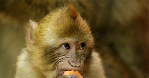 No Merci For French Monkey Tased By Cops