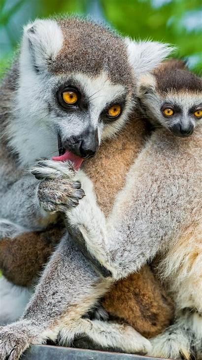 Lemur Animals Summer Lemurs 4k Funny Animal