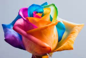 stem roses make your own real rainbow roses