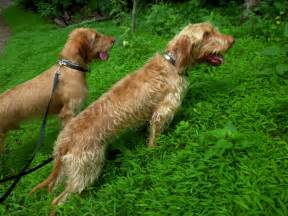 hungarian vizsla wirehaired for sale