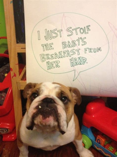 naughtiest dogs   world hilarious dog shaming