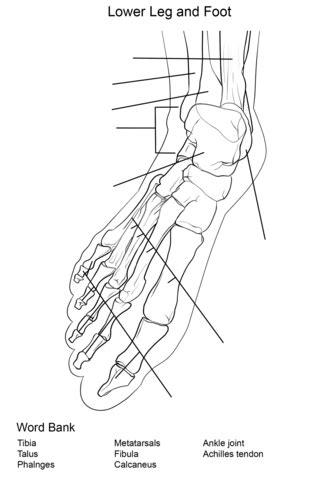 foot bones anatomy worksheet coloring page  printable coloring pages