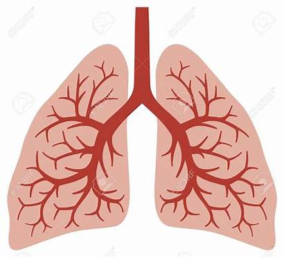 Lungs Human Clipart Bronchi Vector Anatomy Lung