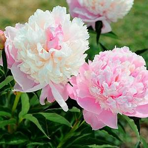 Langage Des Fleurs Pivoine : pivoine herbac e 39 gloire de charles gombault 39 fleur pinterest pivoine pivoine herbac e et ~ Melissatoandfro.com Idées de Décoration