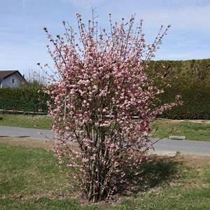 Gartensträucher Blühend Winterhart : viburnum bodnantense x 39 dawn 39 tuin pinterest ~ Orissabook.com Haus und Dekorationen