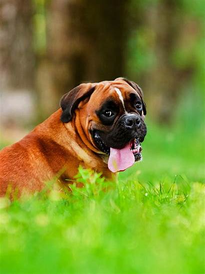 Boxer Dog Wallpapers Lively Grass Wallpapertag 6s