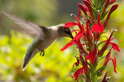 flowers  nectar  attract hummingbirds