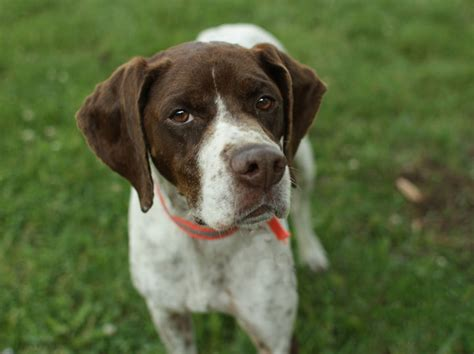 German Shorthaired Pointer Shed by Best Guard Dogs That Dont Shed Breeds Picture