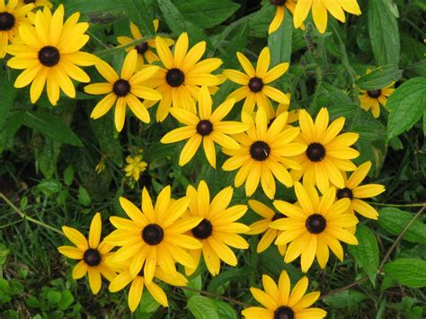 black eyed susan black eyed susan rudbeckia shelmerdine garden center