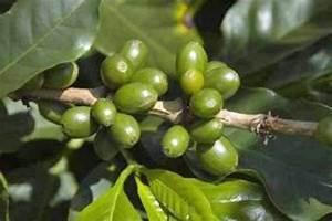 Как варить зеленое кофе для похудения