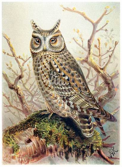 Owl Scops Illustrations 1600 1200 Px Res