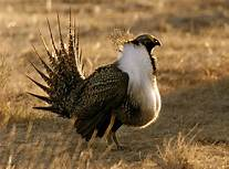 Sage grouse habitate threatened by Trum oil and gas leases