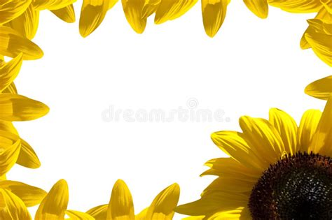 sunflower border royalty  stock image image
