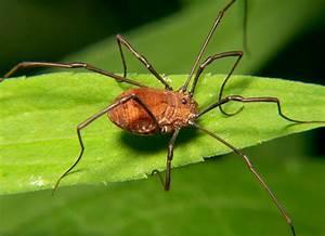 giftigste spinne der welt weberknecht