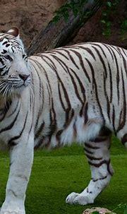 White Bengal Tiger Majestic · Free photo on Pixabay